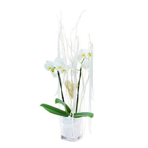 Orchidej bílá Phalenopsis
